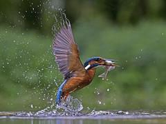 Kingfisher 58 (Robert-Bannister) Tags: kingfisher female england fishinbeak fish alcedoatthis commonkingfisher eurasiankingfisher takingoff flight fishing catchingfish