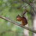 Red Squirrel #2 (Roantrum) Tags: finland martinselkosen redsquirrel roantrum sciurusvulgaris suomussalmi kainuu fi