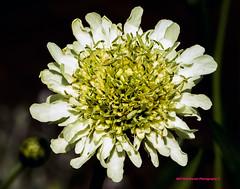 Yellow & White Flower (rumerbob) Tags: floweryellowwhite flower floral flowergarden fauna flowerphoto botany botanicalgardens botanical nature naturewatcher longwoodgardens macro macroflower macrophotography canon7dmarkii canon100mmmacrolens