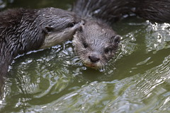 Lontre (carlo612001) Tags: lontra otter mammals animals nature animali natura