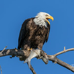 Bald Eagle's mate approaches, flies over thumbnail