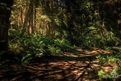"""There's a light... in the darkness of everybody's life... (Selkii's Photos) Tags: britishcolumbia canada ferns forest sheringhampointtrail shirley trees vancouverisland hiking"