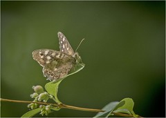 Speckled Wood Butterfly (Charles Connor) Tags: sthelens carrmilldam speckledwood butterflies butterflyphotography insectmacro macrophotography closeups insectphotography bokeh backgroundblur canon100400lens canon7dmk11