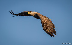 Havørn-8522 (jarud) Tags: 2017 eagle fugl havørn naturopplevelser norge norway smøla whitetailed ørn