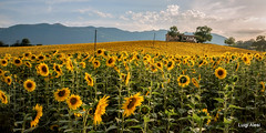 girasoli nella campagna marchigiana (Luigi Alesi) Tags: 201707luglio marche matelica italia italy macerata castelraimondo girasoli sunflower campagna country countryside paesaggio landscape scenery natura nature estate summer tramonto sunset casolare coltivazioni agricoltura nikon d750 raw