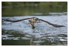 Trout for Breakfast (cheffievrs) Tags: 1dx 0397 borderfx canon ef300mm28lis fish fishing hunting nature osprey pandionhaliaetus rutland trout wild wildlife