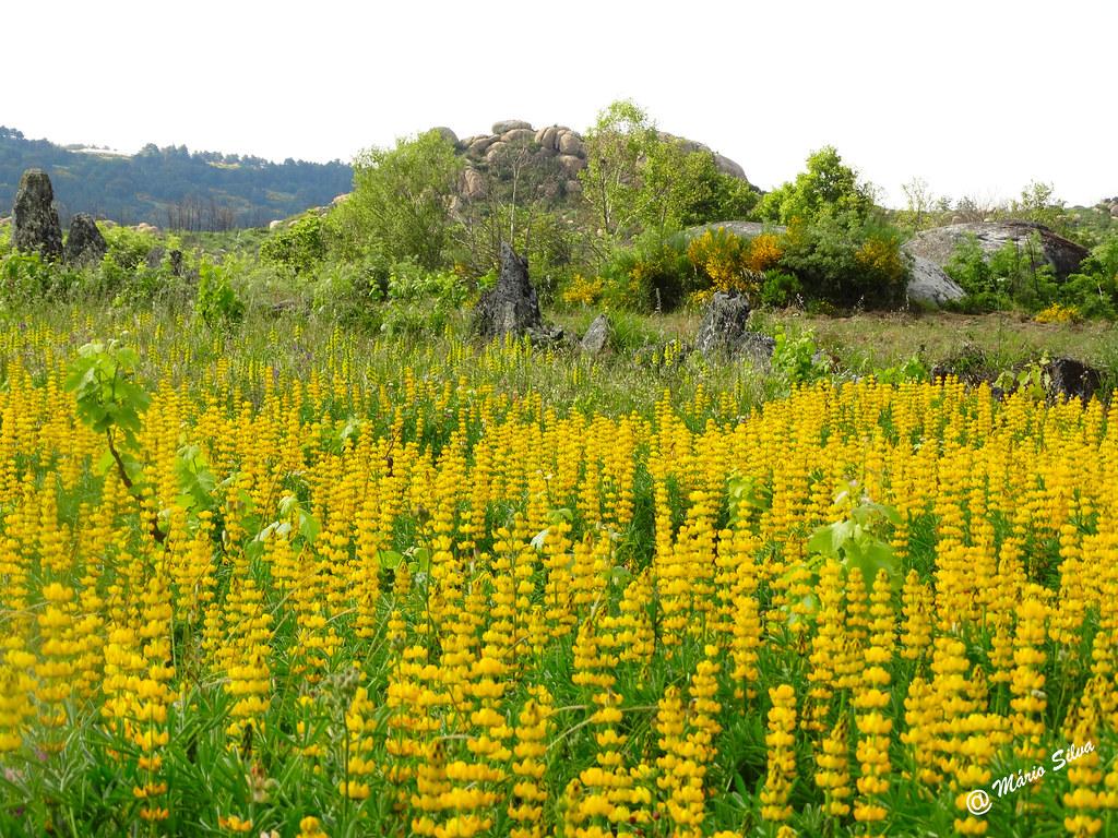 Águas Frias (Chaves) - ... flores campestres cobrindo o solo de amarelo ...