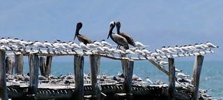 Pelicans & Terns - Pélicans et sternes