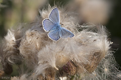 Nice and Cosy (Thijs de Bruin) Tags: fluffy commonblue nature natuur macro nederland dutch