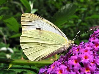 Butterfly 1393