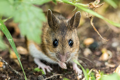 Wood Mouse (Linda Martin Photography) Tags: dorset backgarden wildlife rodent nature hampshire apodemussylvaticus mouse uk animal coth alittlebeauty coth5 ngc sunrays5