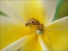 Krabbenspinne trifft auf Marienkäfer (gatierf) Tags: spinne spider marienkäfer plumeria insect insekten