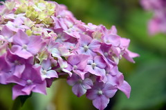 Hydrangea Blossams Cluster. (Manoo Mistry) Tags: nikon tamron nikond5500 tamron18270mmzoomlens birmingham birminghampostandmail birminghamuk midlands flowers blossams cluster colour pink flower hydrangea