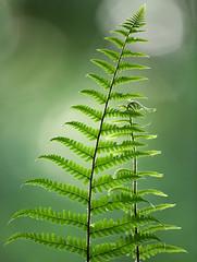 Ferns (Alan MacKenzie) Tags: ferns woodland forest green telephoto blur bokeh sussex england