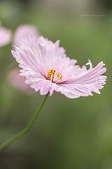 Cosmos bipinnatus 'cupcakes' (MikaJC) Tags: cupcake cosmos flowers pink bbg