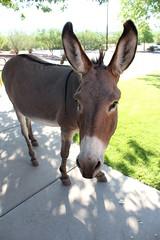 7-13-17 jenny 2 (EllenJo) Tags: donkeys burros clarkdaleburros canonrebel july13 2017 ellenjo verdecanyonrailroad depot traindepot equine