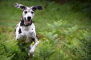 Domino, Harlequin Great Dane
