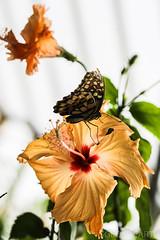 20170715-IMG_7288-2 (SGEOS@EARTH) Tags: vlindertuin vlinder vlinders butterfly butterflies vlindersaandevliet observer colorfull insects nectar indoor nature wildlife canon macro 100mm