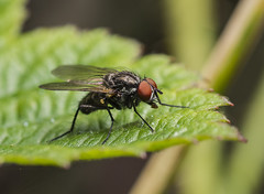 Fly (H.W_Werke) Tags: fly leaves nature tamronspaf90mmf28 pentax insect