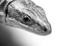 Lizard portrait (AndreasCWSchmidt) Tags: wildlife nature animals lizard viviparous zootoca vivipara macro closeup reptile blackandwhite bw