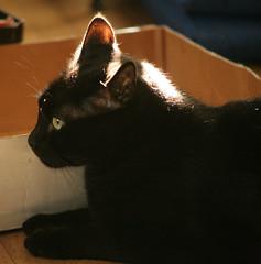A Cat, A Box and a Sunbeam (Brett A. Fernau) Tags: c5d cat hedge pet blackcat domestic shorthair deadeyebart brettfernau