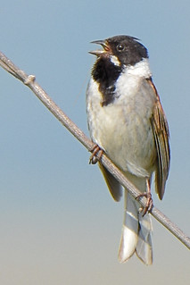 Reed - bunting