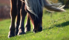 Windy day (annazelei) Tags: nature natura horse pferd details fauna grass field land canon eos colours wind close mammal mammalia green brown animal