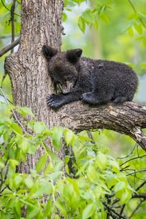 Black Bear Nap Time *in explore*