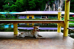 ,, DJ ,, (Jon in Thailand) Tags: jungle dj dog k9 monkeytemple bench swamp reflection yellow red blue green purple orange ears dogtail dogtongue dogsmile happydog teal deepjungle smilingdog littledoglaughedstories