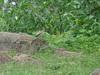 Large grey Babbler (Greencraftingkid) Tags: himayatsagar naturewalk birding rain