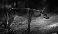 ๖ۣۜHorizons ๖ۣۜLointain / ๖ۣۜFar ๖ۣۜHorizons (Pilouchy) Tags: horizon lointain monochrome blackandwhite regard chemin lumiere eyes yeux forest wood foret wolf noir free vie life animal wild