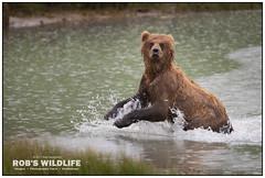 Alaska Brown Bear 070317-1055-W.jpg (RobsWildlife.com © TheVestGuy.com) Tags: grizzly robswildlifecom 070317 robswildlife alaskastatetourism alaskabear grizzlybear wildlife nature naturelovers bear brownbear robdaugherty animals animal naturephotography alaskaadventure alaskawild