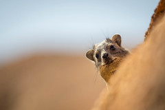 Sneaky peek. (Luke Sergent) Tags: adult africa african animal cliffs closeup curious cute dassie detail edge fauna fur furry habitat head hyrax lazy mammal namibia native nature portrait procaviacapensis rat relaxing resting rock rockhyrax rodent rough rugged south spitzkoppe stones sun whiskers wild wildlife