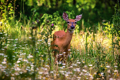 deer and field (david_sharo) Tags: nature wildlife moraine pennsylvania