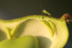 Photobombed! (AngharadW) Tags: texture green pod dof macro photobombed bug angharadw goldenhour outdoor