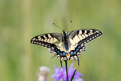 Schwalbenschwanz (Papilio machaon) (AndreLo2014) Tags: schwalbenschwanz papilio machaon schmetterling macro butterfly sony a77ii sigma 105mm tagfalter