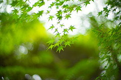 Whispers of July (moaan) Tags: kobe hyogo japan jp momiji japanesemaple green summer midsummer july dof bokeh bokehphotography leica mp leicamp noctilux 50mm f10 leicanoctilux50mmf10 utata
