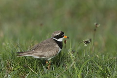 ringed plover (simonrowlands) Tags: ringedplover charadriushiaticula