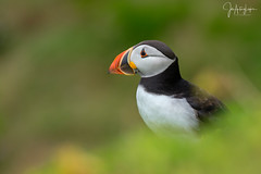 Acuarela (Lagier01) Tags: aves fauna frailecillos nature puffin wildlife birds pájaro naturaleza irlanda