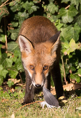 Young fox (cogs2011) Tags: young fox canon sigma feather grass cute