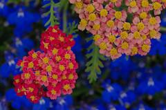 Summer flowers in Helsingborg (frankmh) Tags: plant flower display helsingborg skåne sweden outdoor macro