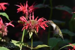 Hard to resist... (dbifulco) Tags: rthu bird flight flowers flying garden nature newjersey redbeebalm rubythroatedhummingbird wildlife