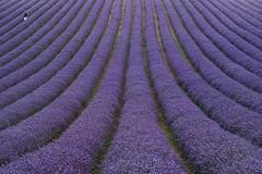 Lordington Lavender Fields (fstop186) Tags: lavender lavendula lordington fields scale huge landscape purple nature panorama