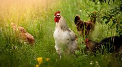 Df-P-1778 (michal kusz) Tags: kogut rooster kura hen trawa grass fieeld village countryside wieś colour warm d300 18200 nikon nikor