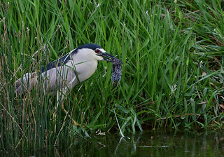I'll be dipped! Black-crowned Night Heron with prey. He quickly caught this vole and ran down to the water, dipped it in a few times and gulped it down.  - 1921b
