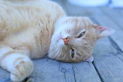 Paresse féline (marieturenne.wordpress.com) Tags: chat cat félin paresse