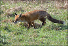 Red Fox (image 1 of 2) (Full Moon Images) Tags: woodwalton fen greatfen bcn wildlife trust nnr national nature reserve cambridgeshire natural england animal mammal red fox