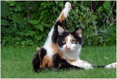 Pebbel: help wanted .... (Jan Gee) Tags: pebbel cat chat kat poes driekleur tricolore lapjeskat katze gata gtao gatto peeing problems inapproriate