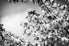 (Px4u by Team Cu29) Tags: frühling blüte blüten kirsche baum blätter erneuern frisch