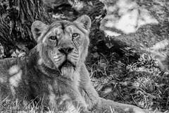 Lionne d'Asie (Oric1) Tags: 22 canon côtesdarmor france oric1 tregomeur armorique breizh bretagne brittany eos félin lionne zoo zooparc nb noir blanc